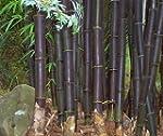 Exotic Plants Bambusa lako - bambou n...