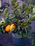 Meyer Lemon Tree by Monrovia Growers--5 Gallon Bush Form