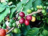 "Hirts Arabica Coffee Bean Plant - 3.5"" pot - Grow & Brew Your Own Coffee Beans"
