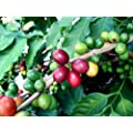 Hirt's Arabica Coffee Bean Plant - 3.5