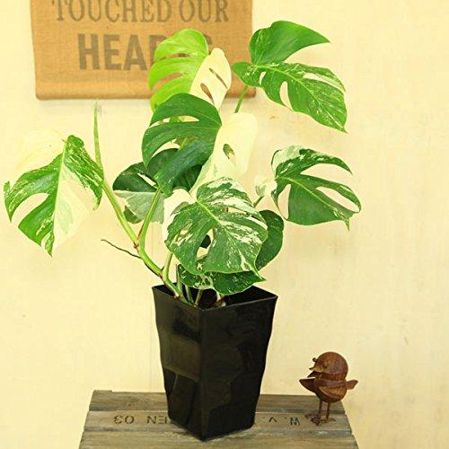 希少植物・観葉植物:斑入りモンステラ デリシオーサ*角鉢7号 ブラック