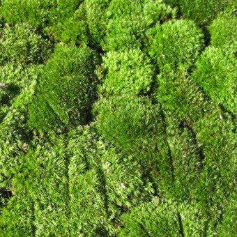 盆栽用:苔4(山苔) パック入り