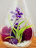 "Bliss Gardens Air Plant Terrarium with 7"" Glass Teardrop Globe, Moss, Flowers and Agate / Purple Passion"