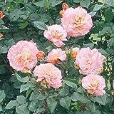 四季咲中輪バラ:アウグスタルイーゼ新苗[強香][アンティークタッチのバラ]