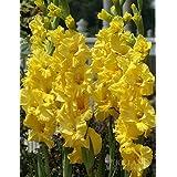 Yellow Gladiolus Value Bag