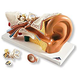 Anatomical Chart Co. - Four-Part Ear Model - -