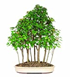Lawn &amp; Patio - Brussel's DT3034TMG15 Trident Maple Forest 15 Tree