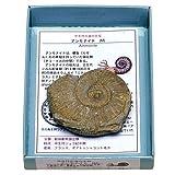 あなたも!化石博士シリーズ 紙箱標本 中世代の海の主役 アンモナイトM