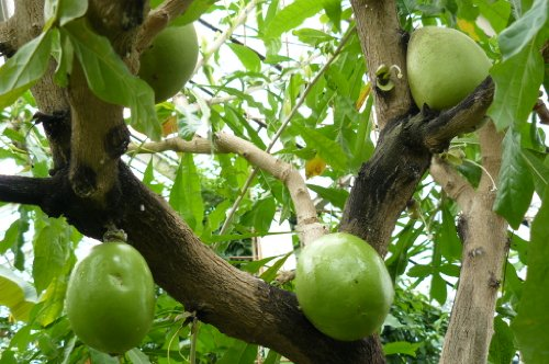 Crescentia Cujete, Calabash Tree, Rare Fruit Tree From The Caribbean