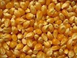 The Dirty Gardener South American Yellow Popcorn - 50 Seeds