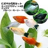 (熱帯魚)ミックスプラティ+ミックスバルーンモーリー(各4匹) 本州・四国限定[生体]