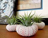 Air Plant Triplets! Three Pink Sea Urchin with Air Plants on Board. GIFT BOXED! Great Gift Neat Houseplants By Hinterland Trading
