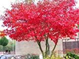 Tree Seeds Online - Top Three Acers- 45 Seeds - 10 Packs
