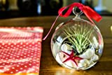 Hinterland Trading Mother&#39;s Day Gift Air Plant Tillandsia Pink Starfish Seashell Glass Hanging Terrarium Kit Beautiful Houseplant