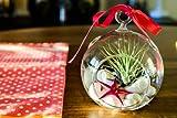 Hinterland Trading Mother's Day Gift Air Plant Tillandsia Pink Starfish Seashell Glass Hanging Terrarium Kit Beautiful Houseplant