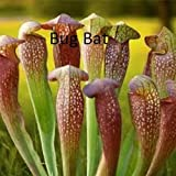 SARRACENIA - BUG BAT - COBRA PITCHER PLANT - CARNIVOROUS - 4