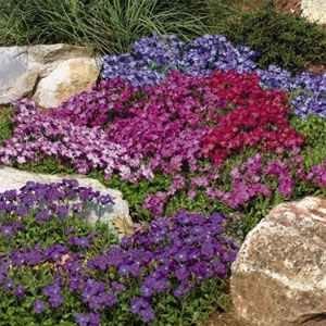 Amazon.com : 50+ Aubrieta Royal Mix Perennial Flower Seeds / Ground