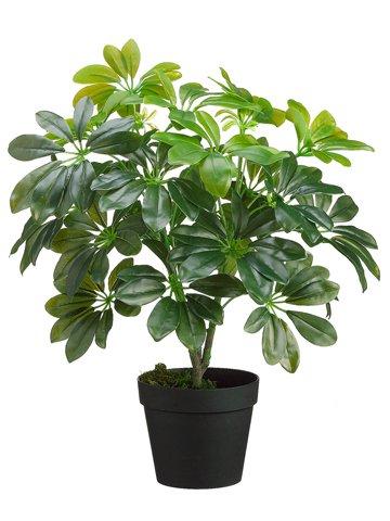 18 Eva Schefflera Plant In Pot Green Pack Of 6 Norrisllolaooq