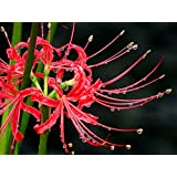Lycoris Red 'Radiata' - Surprise Lilies - 3 Large Bulbs - 12/14 cm Ships from USA