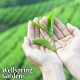 Camellia sinensis Tea Plant Live Black White, Green & Oolong Excellent gift