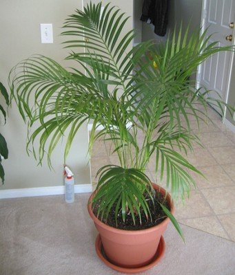 Palm Plants - Areca Palm