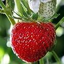 Erdbeeren Samen