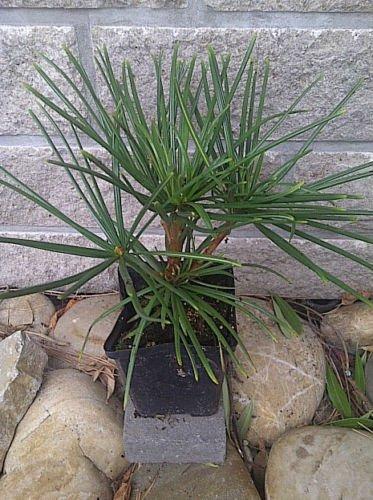 Sciadopitys verticillata japanische Schirmtanne Tanne 20 cm Outdoor Bonsai