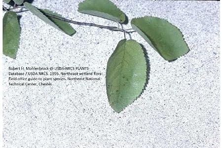 4 Shadbush Serviceberry (Amelanchier canadensis) 1-2'