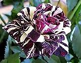 Bllack Dragon Rose Bush 20 Seeds~rare