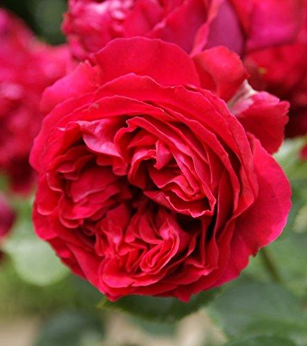 バラ苗 ルージュピエールドゥロンサール 国産大苗6号スリット鉢 つるバラ(CL) 四季咲き 赤系