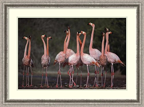 framed-art-print-greater-flamingo-synchronized-group-courtship-dance-galapagos-islands-by-tui-de-roy