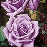 1 X 'BLUE MOON' CLIMBING ROSE GROWING GARDEN FLOWERS PLANTS ROSES