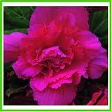 AJP Begonia F1 Supercascade Series 'Pink'