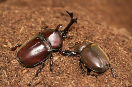 【ガス抜き済み】新タイプビートルマット【カブト採卵及び幼虫飼育用】(昆虫マット)