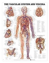 Anatomical Chart Company Vascular System And Viscera Chart