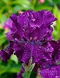 Standing Proud Bearded Iris