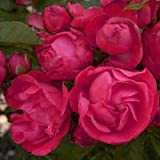 ROSE BIRTHDAY WISHES-Superb Plant & Flower Gift For 40th,50th,60th,70th Birthday Occasions