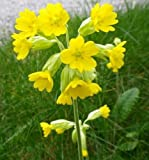 South Eastern Horticultural Pack (80) Primula Veris 'Cowslip' Wild Flower Seeds From Suffolk Herbs