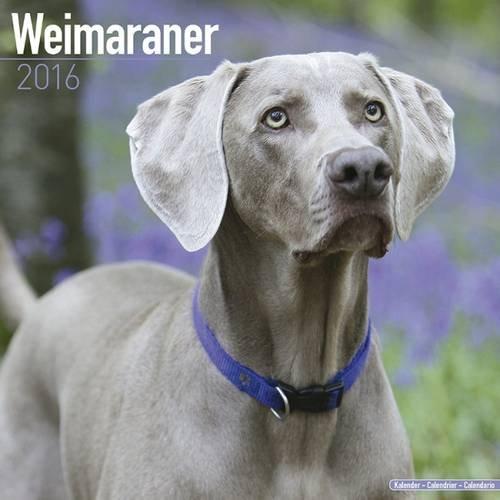 Weimaraner Calendar 2016 (Square)