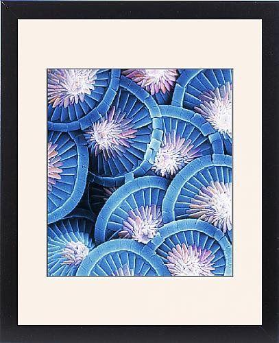 Framed Print Of Acanthoica Acanthifera, Coccosphere From Mary Evans