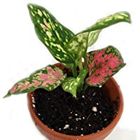 Wishes Chinese Evergreen Plant - Aglaonema - Low Light - 3