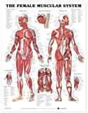Anatomical Chart Company The Female Muscular System