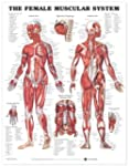 The Female Muscular System Anatomical...