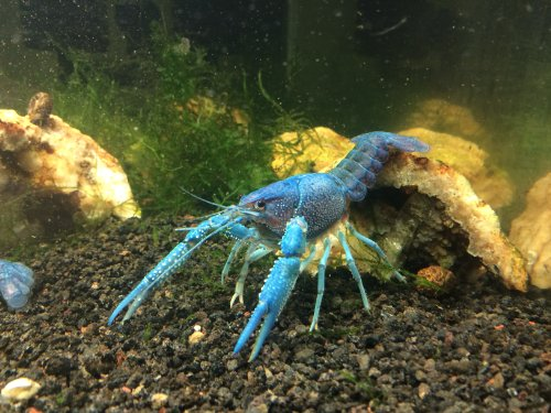 1 Live Electric Blue Crayfish (3-4