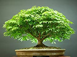 Beautiful Imported Japanese Maple Bonsai Tree Seeds Sold By - VasuWorld