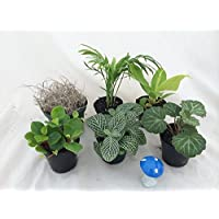 Hirt's Terrarium & Fairy Garden Plants -5 Plants in 2