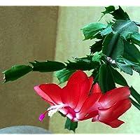Red Christmas Cactus Plant - Zygocactus - 10