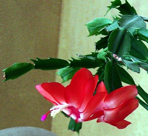 Red Christmas Cactus Plant - Zygocactus - 4