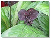 5 BAT FLOWER (Cats Whiskers / Devil Flower) Tacca Chantrieri Flower Seeds