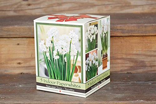 quaint-paperwhite-holiday-gift-growing-kit-includes-5-paperwhite-bulbs-a-plastic-pot-and-saucer-and-